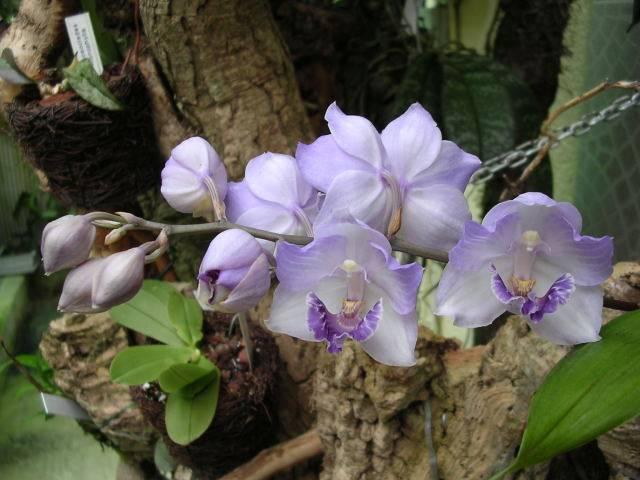 Risultati immagini per Aganisia cyanea
